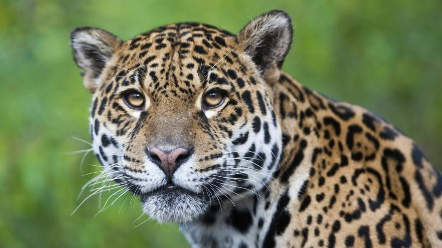 Нямало виновен за смъртта на ягуара от Ловеч