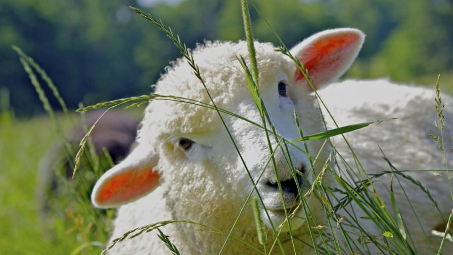 Непознатата овца