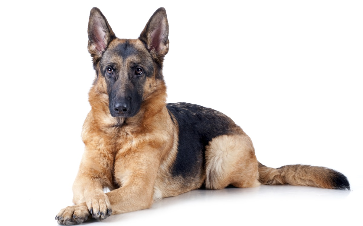 <p><strong>Немска овчарка</strong></p>  <p>Интелигентно и универсално куче, което се продава за не по-малко от 6500 долара. Първоначално породата е развита за охрана на собственост и стада, но днес е идеално семейно куче. Освен това е изключително подходяща порода за работа в полицията, за търсене и спасяване на хора и т.н.</p>