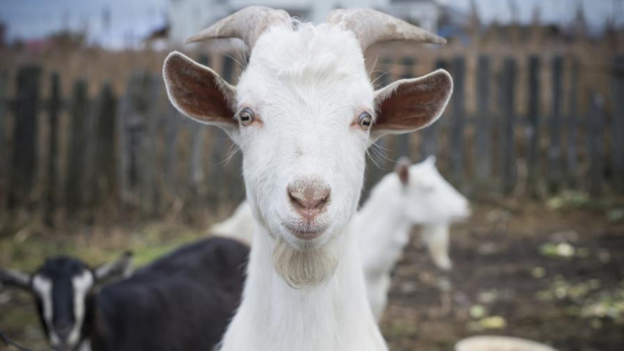 За козата в годината на козата