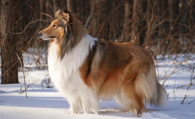 За Ласи и лоялността на кучетата: мит или реалност
