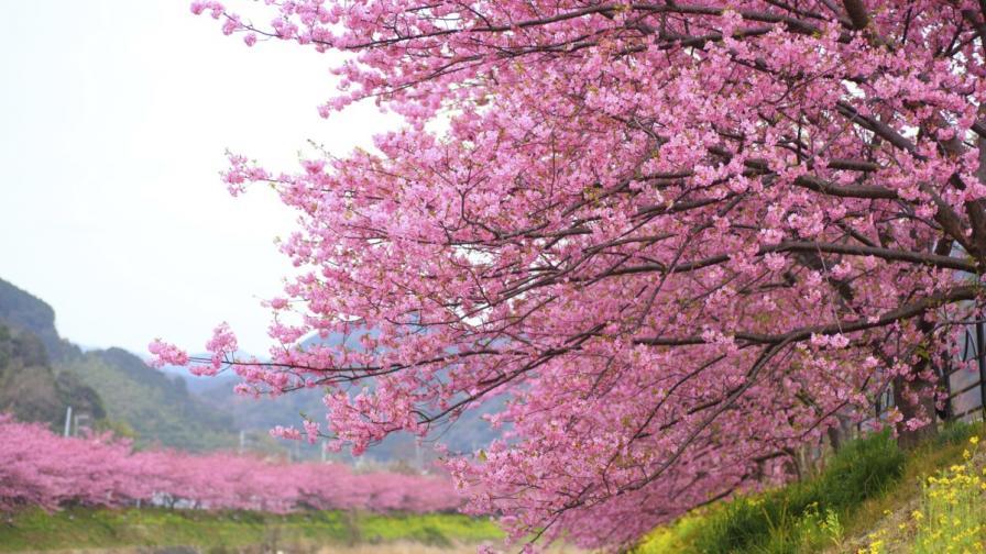 Цъфтежът на вишните в Япония започна по-рано
