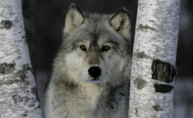 Вълците са отлични приемни родители