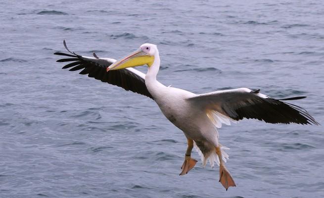 Намериха още шест мъртви пеликана в резервата