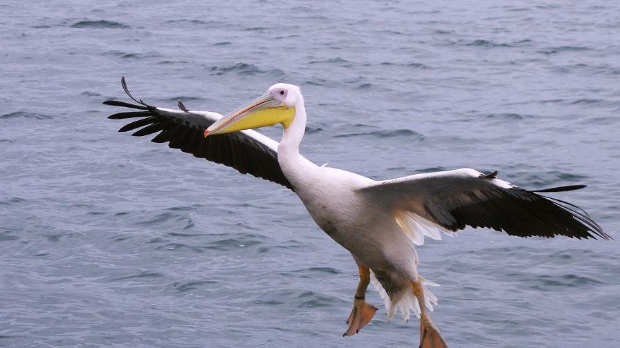 """Още шест мъртви пеликана в резервата """"Сребърна"""""""