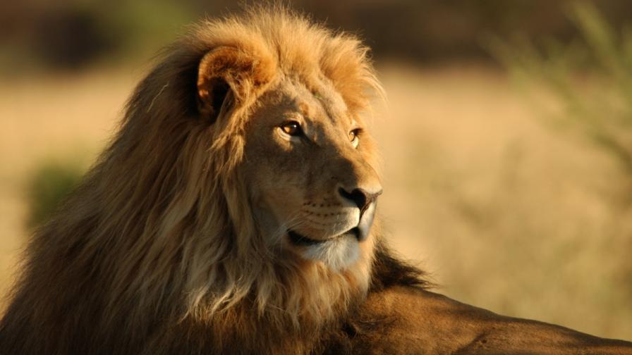 Лъв претърпя унизителен инцидент (видео)