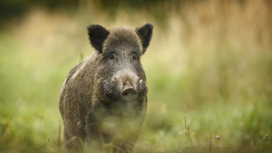 Тревога: Намериха труп на диво прасе край Шабла