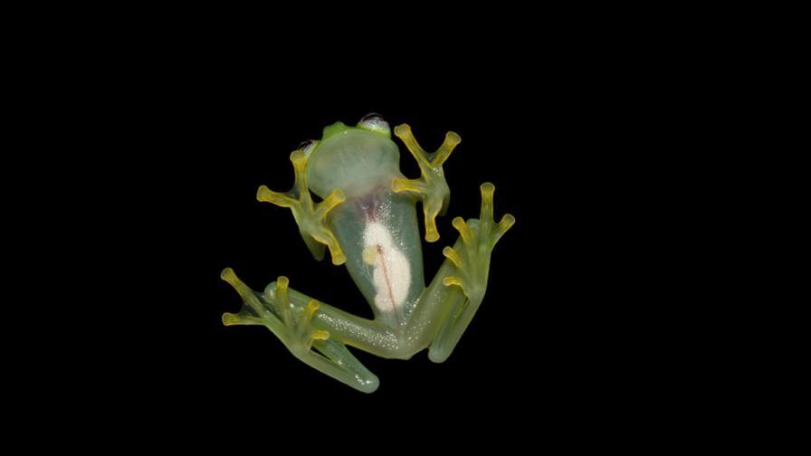 """Откриха нов вид """"стъклена"""" жаба в Коста Рика"""