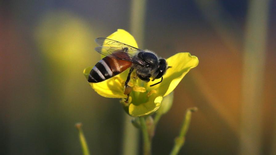 Учени: Пестицидите опасно привличат пчелите