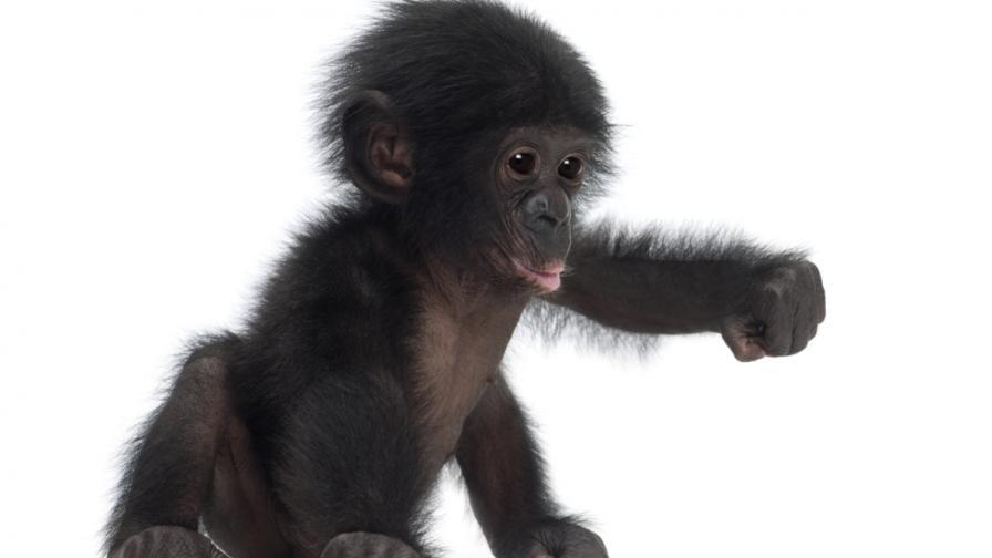 Бебе шимпанзе си търси нова майка (видео)