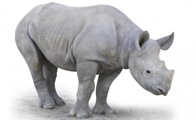 Рядък бял женски носорог е подложен на лечение