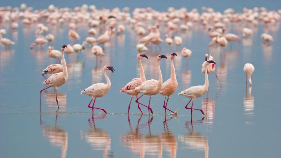 Рекорден брой розово фламинго у нас