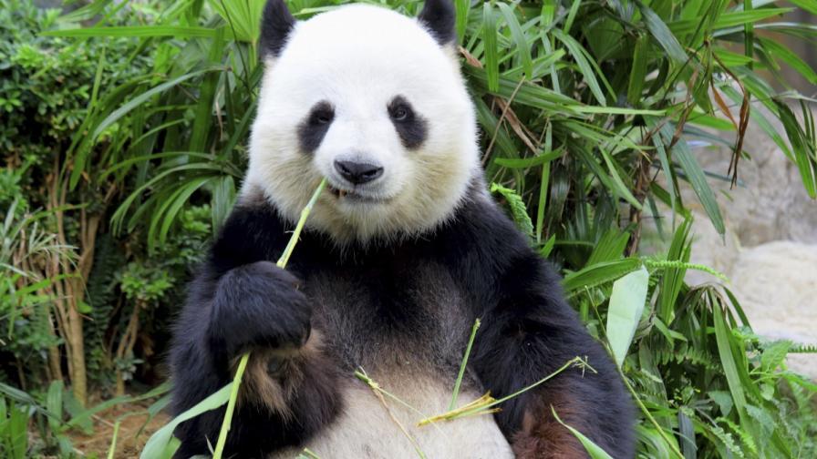 Пандата Мей Сян е бременна
