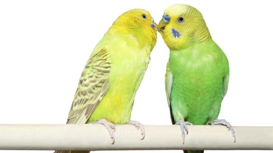 Прозяването е заразно и при папагалите