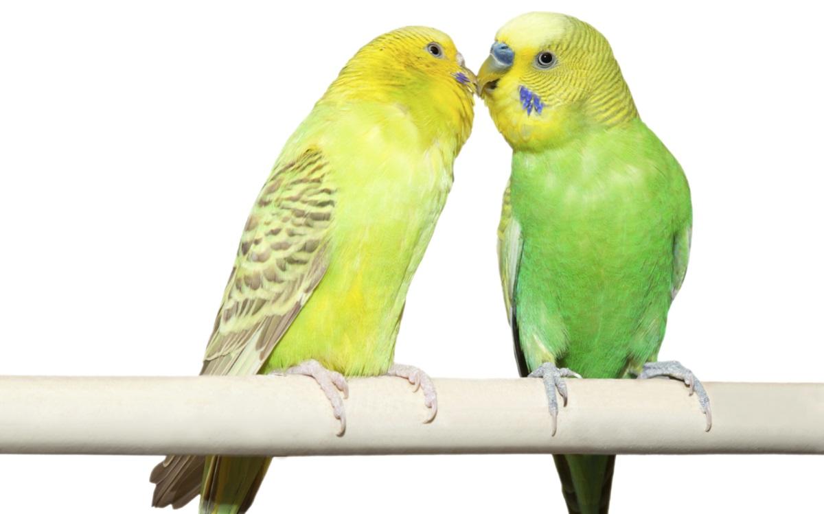 Папагалската треска се пренася от домашни птици. Пситакозата е инфекция, причинена от бактерията Chlamydia psittaci. Тя се разпространява по въздушнокапков път, като нейни преносители могат да бъдат папагали, гълъби и други птици. Не е задължително те да проявяват симптоми, така че болестта се открива трудно. Пситакозата може да предизвика треска, главоболие и суха кашлица при хора. Въпреки че инфекцията рядко е сериозна и обикновено лесно да се лекува с антибиотици, тя може да доведе до пневмония в най-тежките случаи. За предпазване е необходимо да се поддържат клетките на домашните птици максимално чисти.