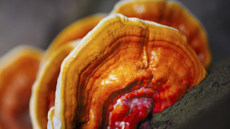 Дървесна гъба спасява от затлъстяване