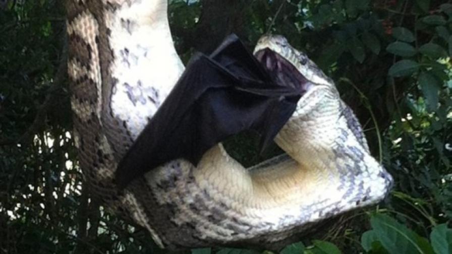 Змия погълна голям прилеп (видео)