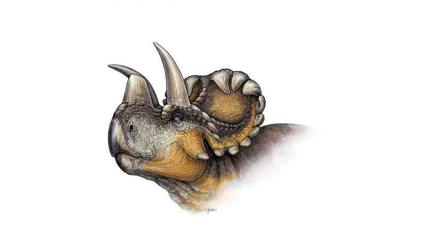 Новооткрит динозавър разкрива тайната на трицератопса