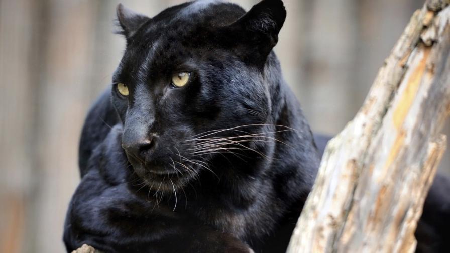 И черните леопарди имат петна