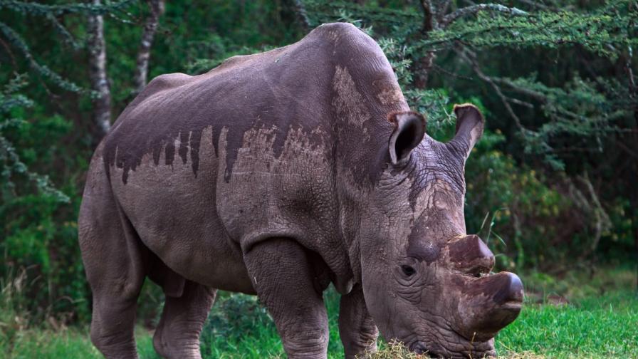 Последният мъжки северен бял носорог - Судан