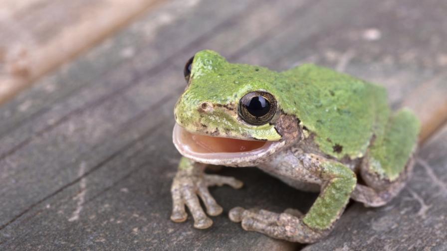 Учени откриха четири нови вида жаби със зъби