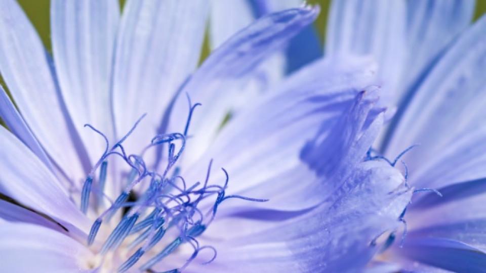 Цветето цикория