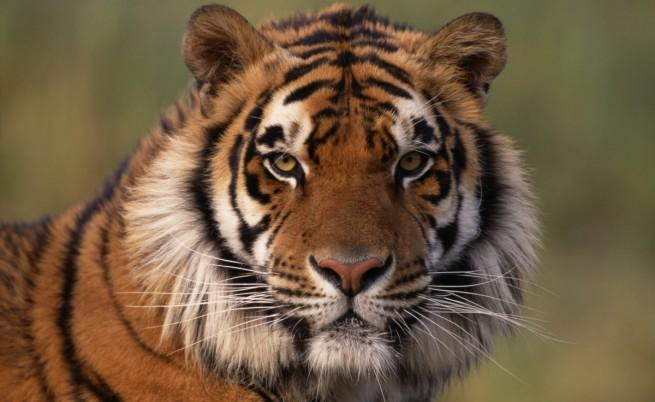 Любопитни факти за тигрите