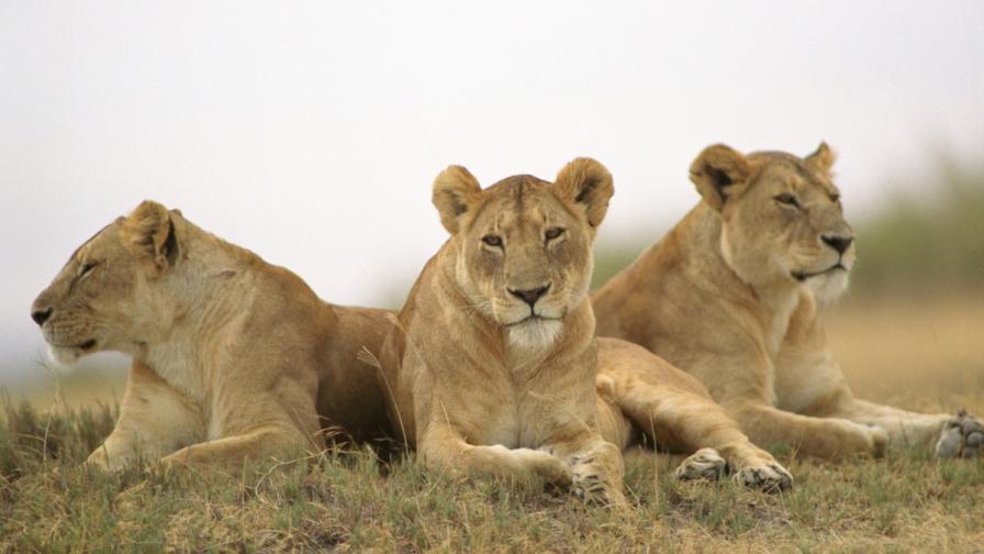 Лъвици в Серенгети