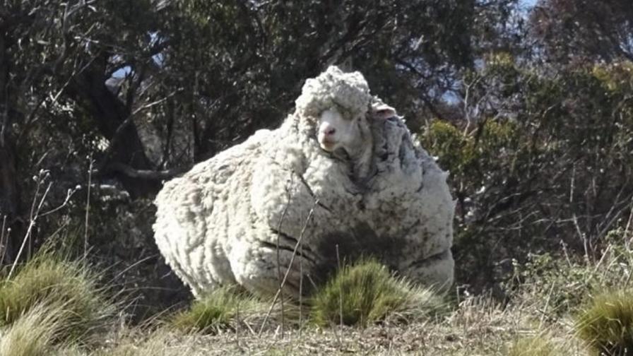 Най-рунтавият овен в света - Крис