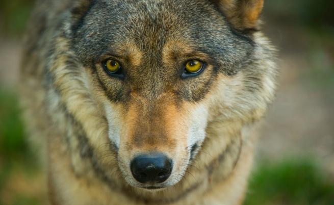 Откриха огромна глава на вълк на 40 000 години в Сибир