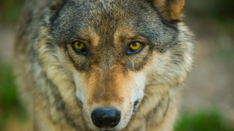 <p>Откриха огромна глава на вълк на 40 000 години в Сибир</p>