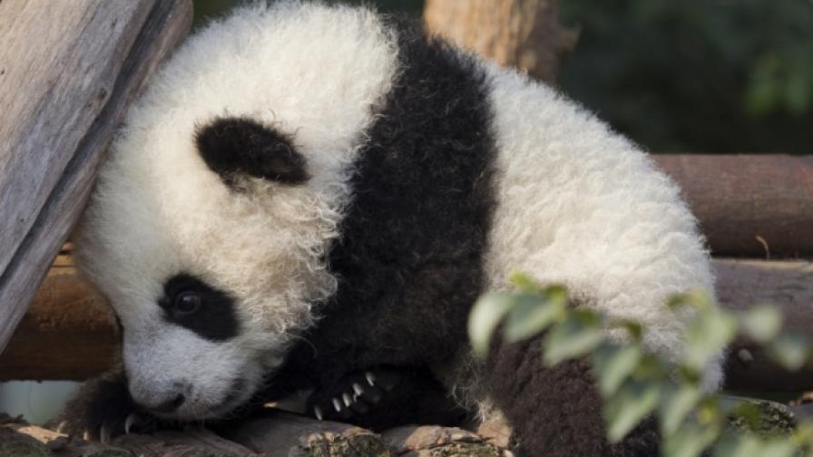 Бебе панда направи първите си стъпки (видео)