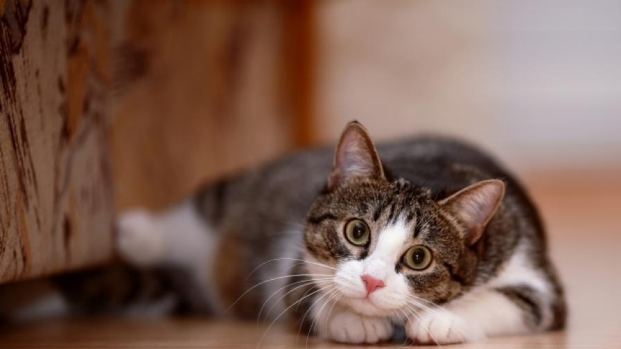 <p>Ветеринари: С коронавируса, дръжте котките си у дома</p>
