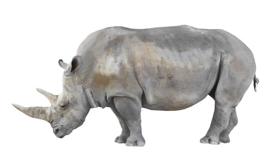 Умря един от последните северни бели носорози в света