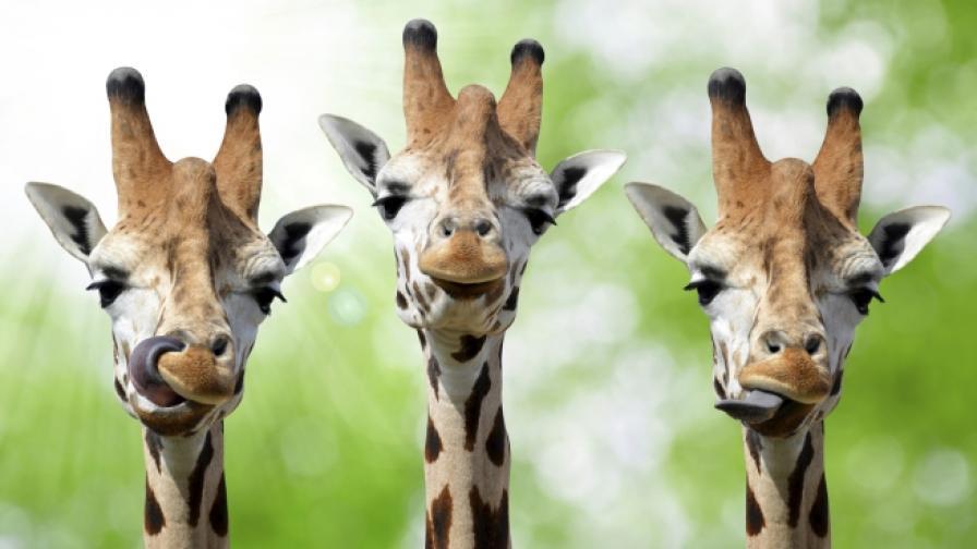 Как жирафите са се сдобили с толкова дълги вратове