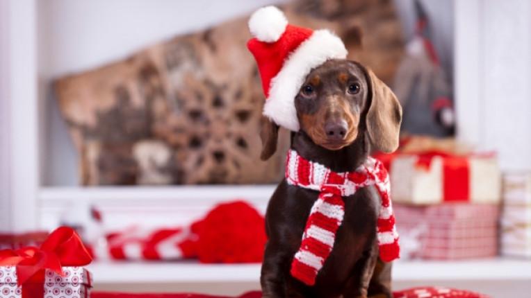 Коледа дакел куче