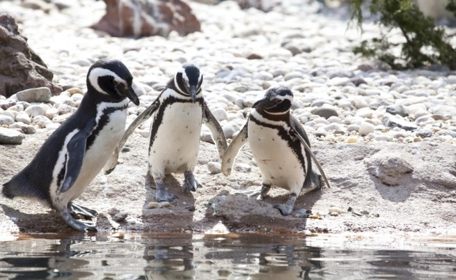 Галапагоски пингвини
