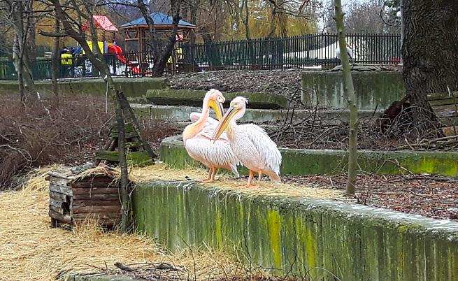 Пеликаните в Софийския зоопарк порозовяха (видео)