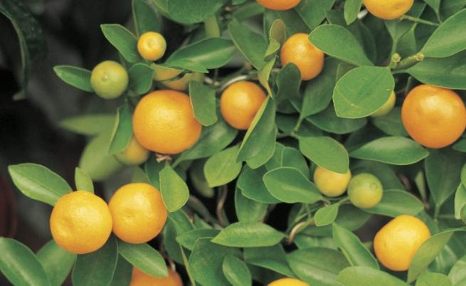 Плодовете, които може да гледате у дома или в офиса