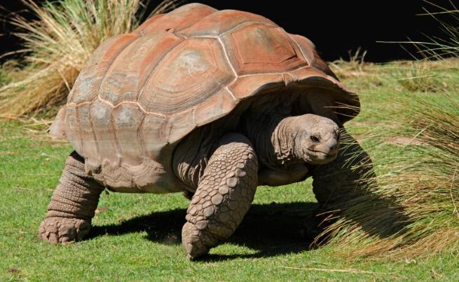 Слонска костенурка