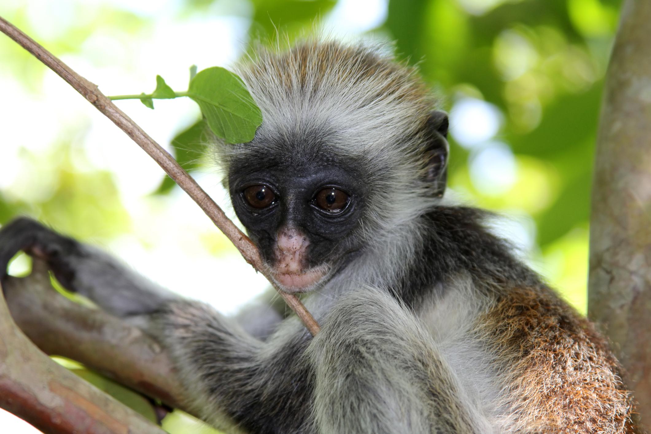 В класацията е включена червеноопашата маймуна(18,2 процента), следвана от червеноликия лемур (16,7 процента). Някои от близките им сродници също имат високи показатели за агресивност.