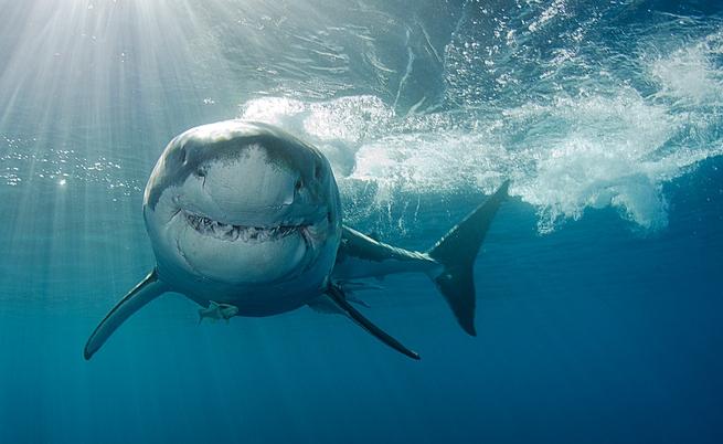 Рискът човек да умре от ухапване от акула е 1 към 300 милиона.