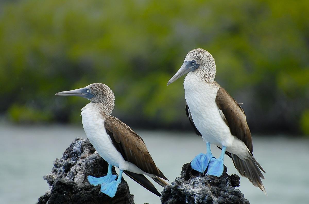 Синьокрак рибояд Красиви пера и изключително впечатляващи крака. Синьокракият рибояд е птица, която се среща в тропическите райони на Тихия океан и особено на островите Галапагос. Има ярко сини крака, а в сезона на чифтосването мъжките изпълняват прекрасни танци, за да покажат ослепителните си крайници.