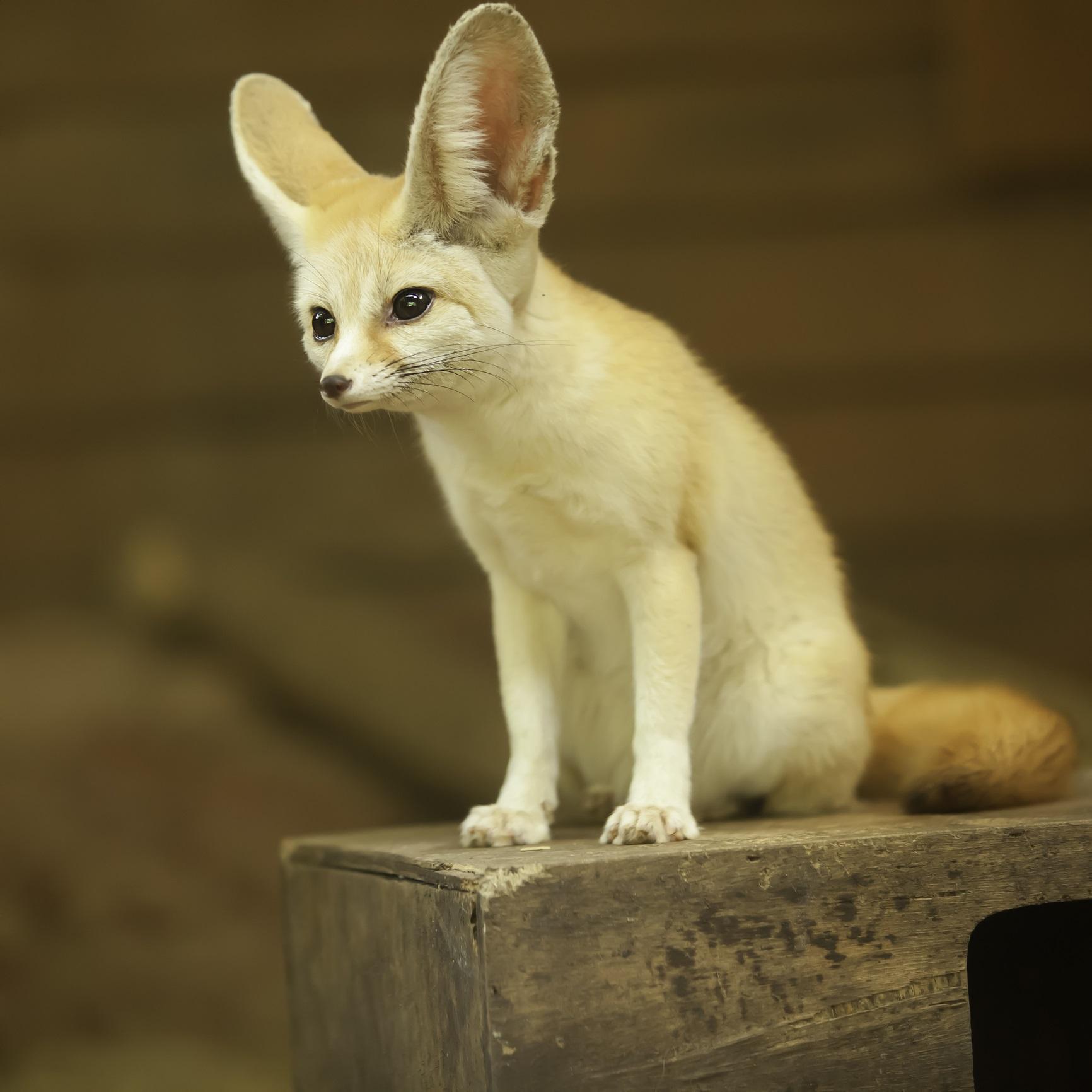 Фенек Фенекът е много малка нощна лисица с гигантски уши, които използва, за да разпръсва топлина. Тя се среща само в пустинята Сахара. Фенекът има доста космати крачета, които му служат като снегоходки, за да се движи през горещия пясък. Този вид лисици живеят в диви подземни пещери в малки общости, но за съжаление техният очарователен външен вид ги превръща в мишени, които биват пленявани за пазара на домашни любимци.