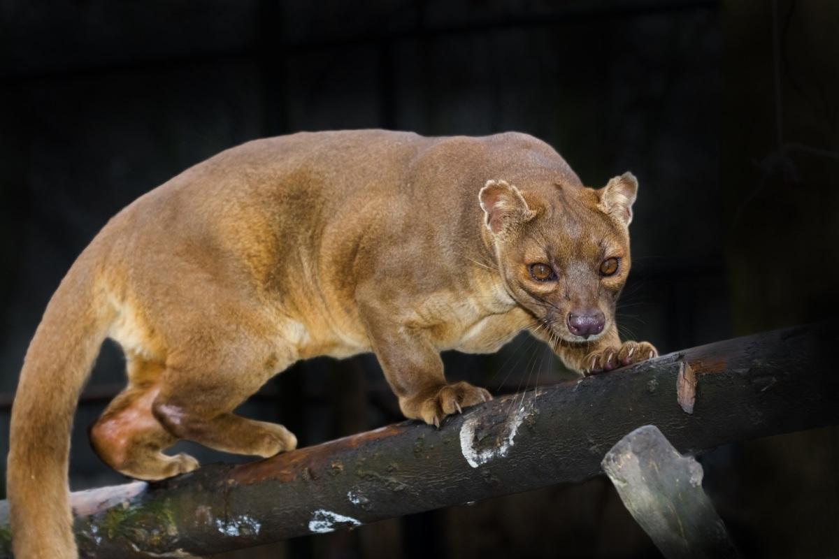 Фоса Това е друго смущаващо изглеждащо създание, което е трудно да се категоризира, но се изглежда е най-свързана с мангустата. До неотдавна се е смятало, че е някакъв примитивен вид котка. С нейните крачета като буци и дълга сръчна опашка, фосата е уникално същество за горите на остров Мадагаскар, където е най-големият хищник. За съжаление обаче тя е застрашена, след ато губи около 90% от своето естествено местообитание, благодарение на хората.