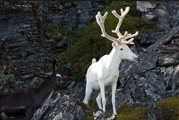 Бял елен Това великолепно създание е същия вид като кафявия елен, но е поредният случай на генетична мутация. Този вид елени се появява в дивие земи на Финландия, Норвегия и Швеция и са изключително редки. В северните страни се счита, че те са магични същества и носят късмет.