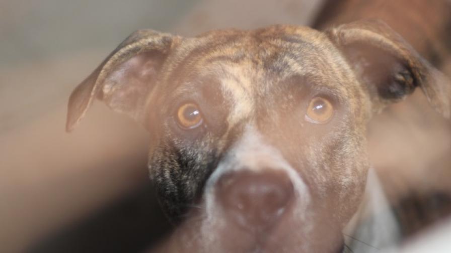 Разбиха мрежа за боеве с питбули у нас, спасиха 40 кучета