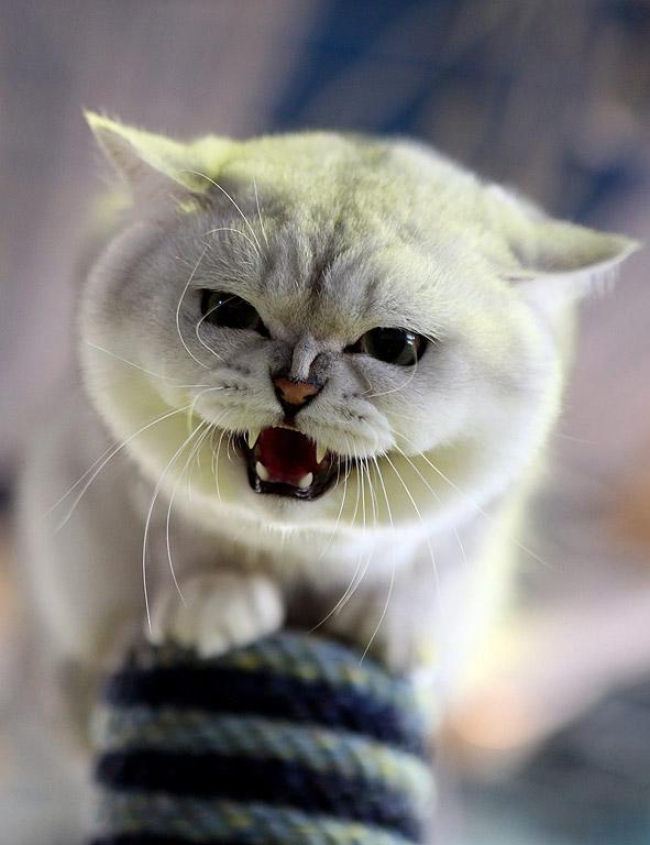 Шотландска късокосместа котка