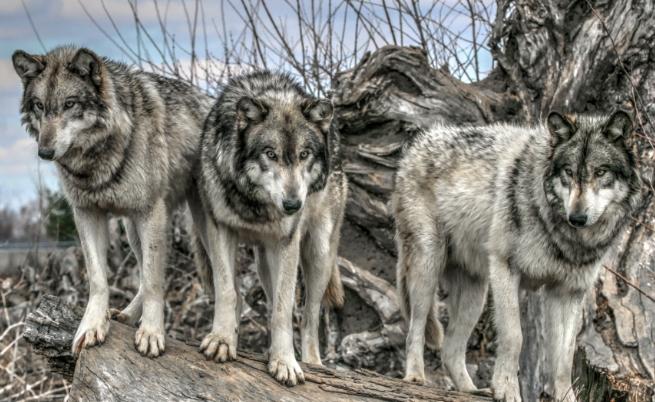 В кой предизборен клип се появява истински вълк?