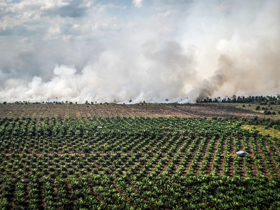 - Маслената палма е пренесена в Малайзия и Индонезия в средата на 20-и век от Африка и следва мащабна продукция.